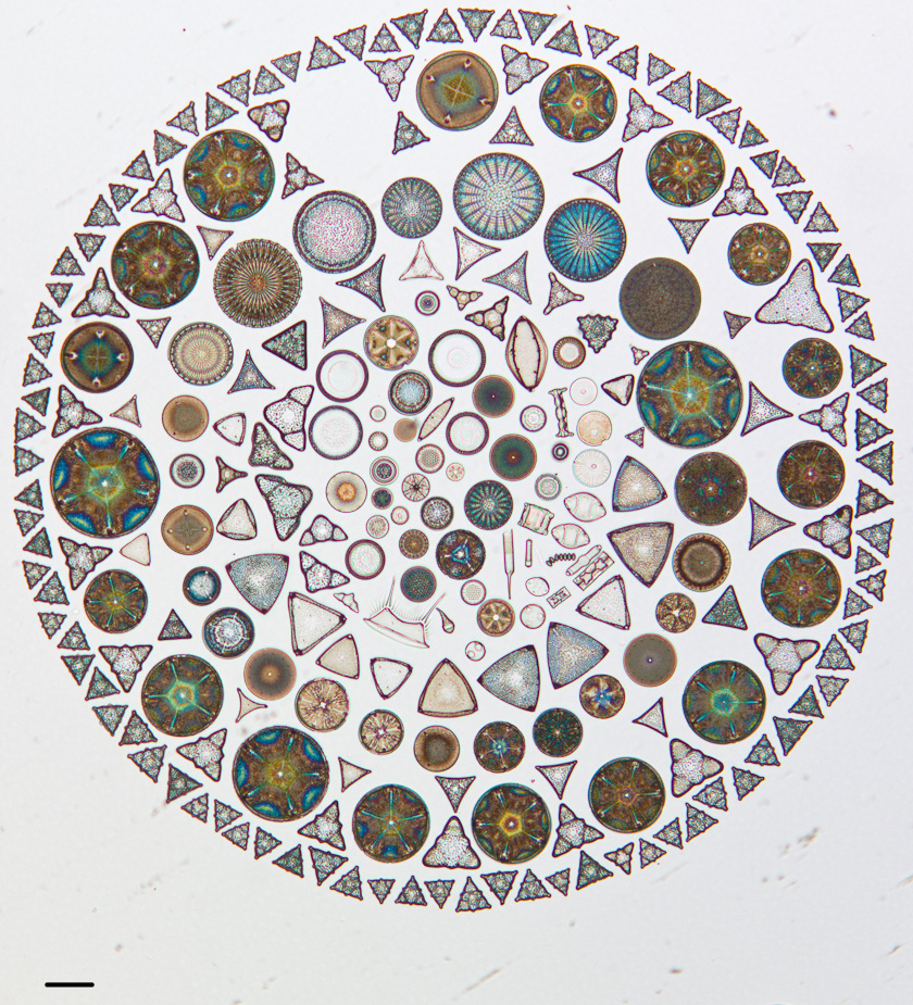 Actual diatoms arranged on a microscope slide, from the California Academy of Sciences collection